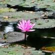 The Beautiful red lilly flower on the pond - Foto de Stock