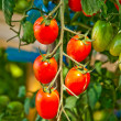 Close up of fresh red tomatoes still on the plant - Stockfoto
