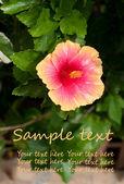 El hibisco — Foto de Stock