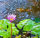 The Beautiful lotus on the pond — Stock Photo