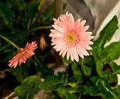La flor de gerbera rosa hermosa — Foto de Stock