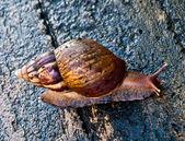 The Garden snail — Stock Photo