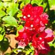 Red flowers. — Stock Photo