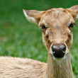 Gazelle portrait — Stock Photo #11356095