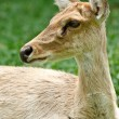 Royalty-Free Stock Photo: Gazelle portrait