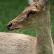 Gazelle portrait - Stock Photo