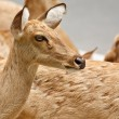 Gazelle portrait — Stock Photo #11356149