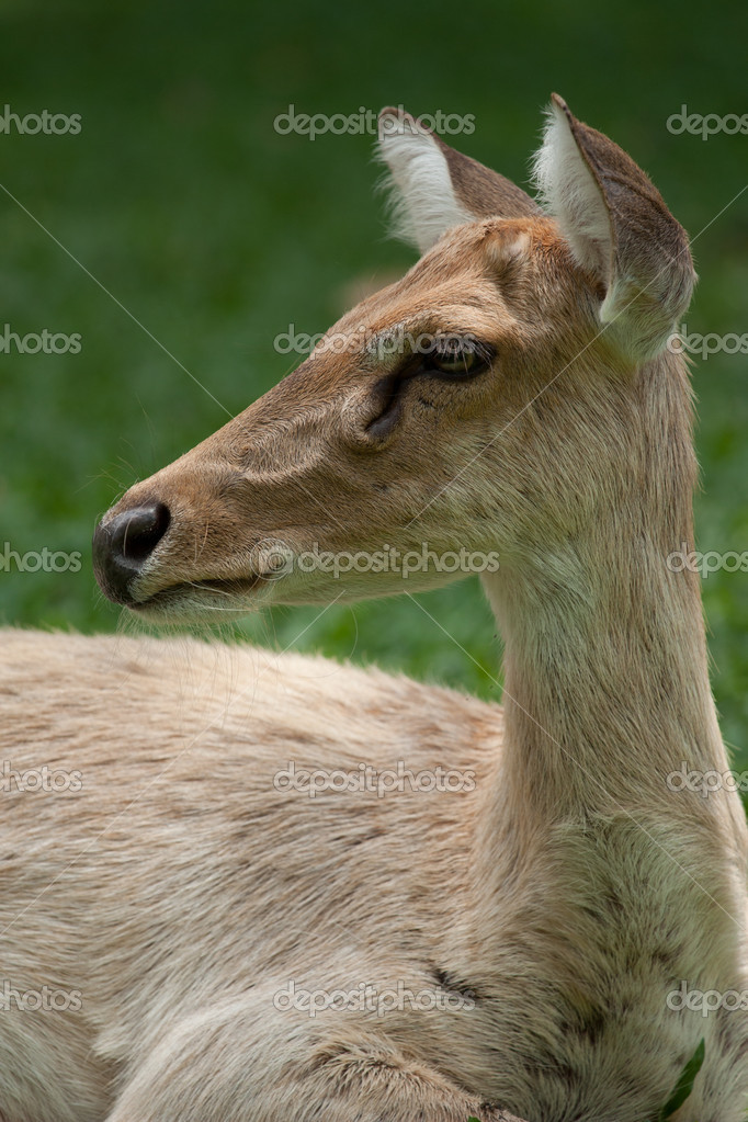 Head shot of gazelle — Stock Photo #11356124