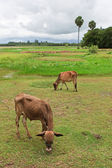 Asian lineage cow in tropical field — Stock Photo