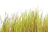 Tropische gras — Stockfoto