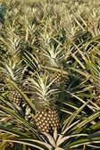Ananas pole — Zdjęcie stockowe