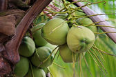 Tropical coconuts — Stock Photo