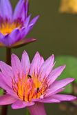 Tropical lotus — Stock Photo