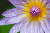 Blue lotus — Stock Photo
