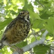 Young or baby robin in tree — Stock Photo