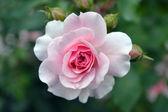 Gentle rose — Stock Photo