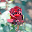 Stock Photo: Gentle rose red