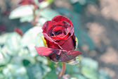 Gentle rose red — Stock Photo