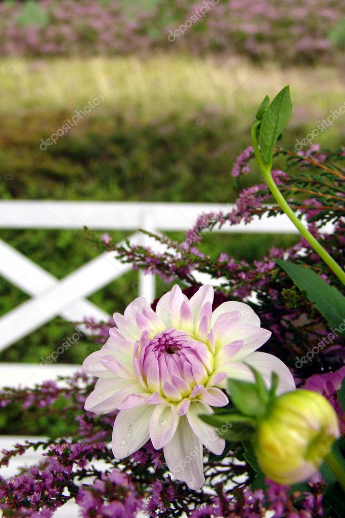 Wild belles enchant with their intensive shades. The chaplets and branches of heath bedstraw, the delicate blooming dahlias, outshine the table. Exuberant and seductive, the table decor presents itself in the adequate shades: white, silver and lilac. — Stock Photo #11250879