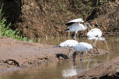 Group of white Ibis birds fishing — Stock Photo