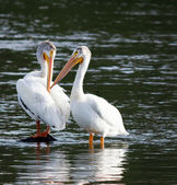 A pair of Pelicans wait for fish — Stock Photo