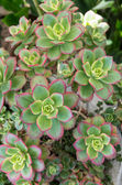 Sempervivium or hens and chicks — Zdjęcie stockowe