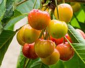 Fresh ripe cherries on tree — Stock Photo