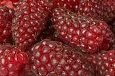 Tayberries closeup of sweet berries — Stock Photo