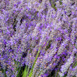 Stock Photo: Lavendar flowers and stems in bunches