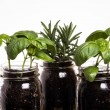Three herb plants in mason jars - Stock Photo