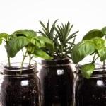 Three herb plants in mason jars — Stock Photo #11660521
