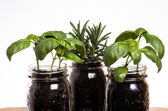 Three herb plants in mason jars — Stock Photo