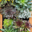 Sedum or sempervivium used for green roofs — Stock Photo #11801025