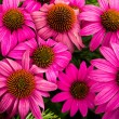 Stock Photo: Blooming echinaceflowers
