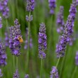Stock Photo: Lavendar flowers with bee