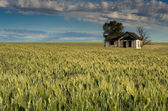 Abandoned farmhouse surrounded by wheat — Stock Photo