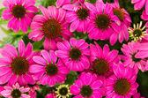 Purple echinacea flowers — Stock Photo