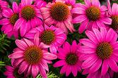 Fioritura fiori di echinacea — Foto Stock