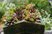 Sedum plants used for green roof — Stock Photo
