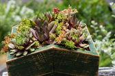 Sedum plants used for green roof — Stock Photo