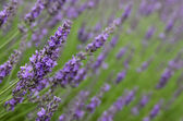 Field of lavender blooms — Stock Photo