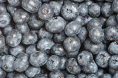 Blueberries freshly picked for background — Stock Photo