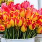Fresh tulips on display — Stock Photo #12034362