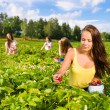 Stock Photo: Strawberry field
