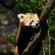 Red panda - (Ailurus fulgens) - Stock Photo