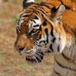Siberian tiger - (Panthera tigris) — Stock Photo