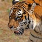 Siberian tiger - (Panthera tigris) — Stock Photo