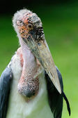 Marabou stork - (Leptoptilos crumeniferus) — Stock Photo