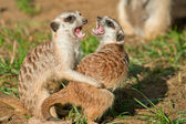 Meerkat - (Suricata suricata) — Stock Photo