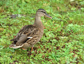 Female wild duck - (Anas platyrhynchos) — Stock Photo